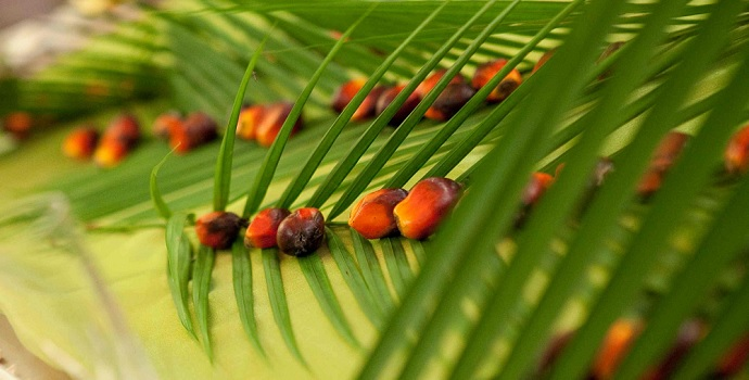 Crude Palm Oil (CPO) Update Indonesia: El Nino to Impact on