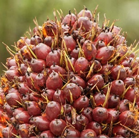 Crude Palm Oil (CPO) Exports from Indonesia Sluggish on Weak Demand