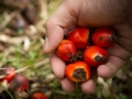 Palm Oil Production Indonesia Fell 3% in 2016, Exports Down 5%
