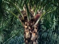 Palm Oil Update Indonesia: Export Tax Scrapped Again in July 2016