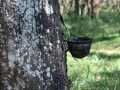 Commodities: Rubber Production Indonesia Expected to Rise in 2016